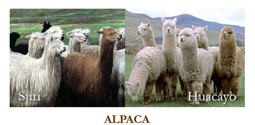 alpaca-surijpg