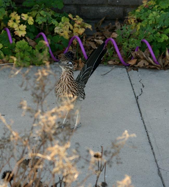 Scooter the neighborhood roadrunner